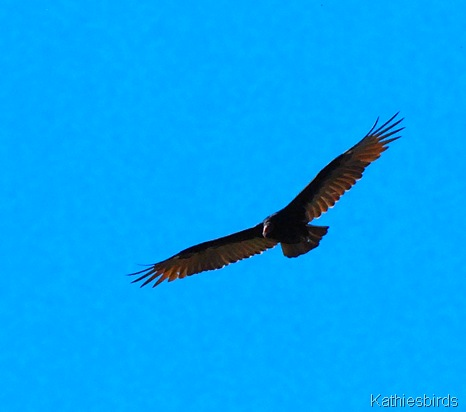 2. turkey vulture-kab