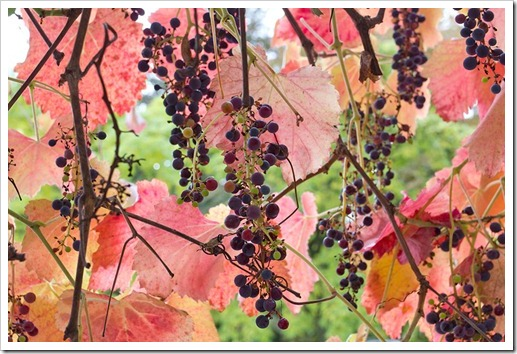 111104_Vitis-californica-Rogers-Red_06