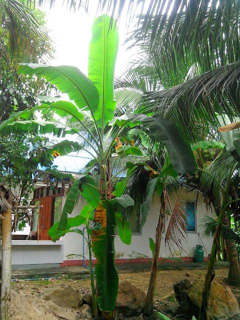 Банановые листья Таиланд