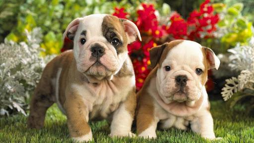 Cute Bulldog puppies Wallpaper