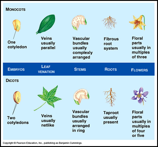 Monocotyledonous plants vs Dicotyledonous plants