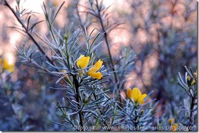 4504 Tauro-Cortadores-La Solana(Retama amarilla)