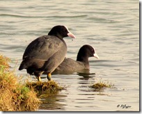 136 Common Coot ( Tikdi )