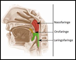 anatomia faringe