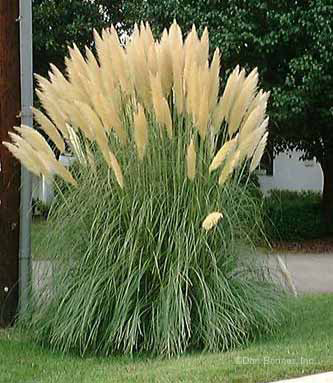 Tall decorative grass