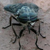 American horse fly