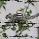 Indian Striped Squirrel