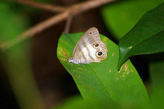 Pareuptychia lydia CRAMER, 1777. Camp Caïman, Montagne de Kaw (Guyane), 13 novembre 2011. Photo : J.-M. Gayman