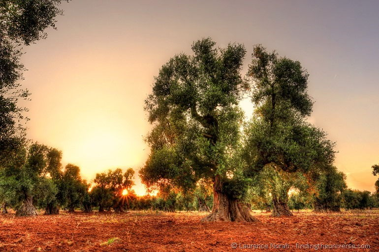 Sunset in the olive grove
