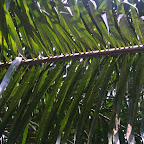 Oil palm tree leaves