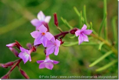 0443 Arteara-S.Fernando(Romero marino)