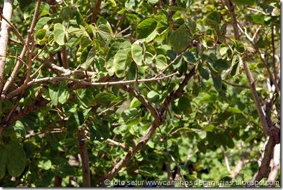 3057 Bauhinia  Variegata-Árbol orquídea(C)