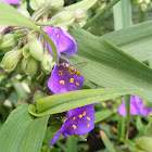 Marmalade hoverfly on a spiderwort