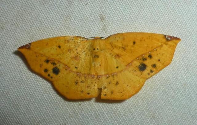 Ennominae : Epigynopteryx ansorgei (WARREN, 1901). Parc de Mantadia, 900 m (Madagascar), 30 décembre 2013. Photo : T. Laugier