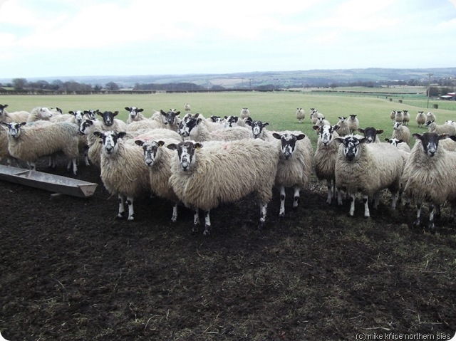 sheep (swaledales)