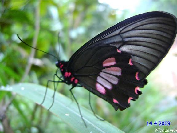 Parides neophilus eurybates (GRAY, [1853]), femelle. Pitangui (MG, Brésil), 14 avril 2009. Photo : Nicodemos Rosa