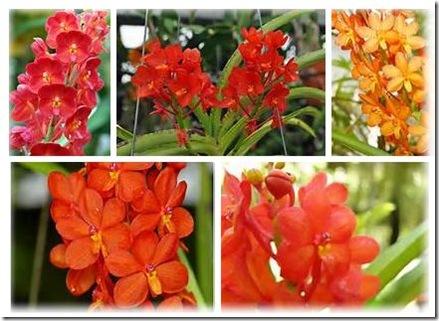 ascocentrum curvifolium red
