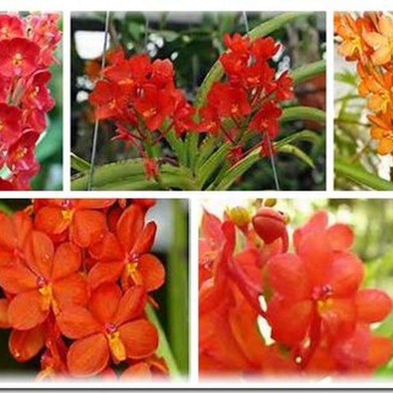 Bunga Anggrek Yang Warnanya Agak Merah