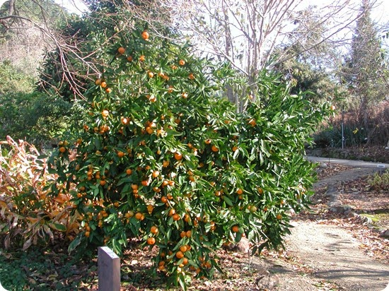 Mandarin_orange_tree