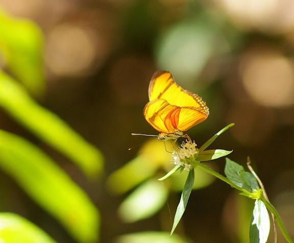 Dryas julia FABRICIUS, 1775. Layon au sud d'Amazone Nature Lodge, Montagne de Kaw. 17 novembre 2011. Photo : J.-M. Gayman