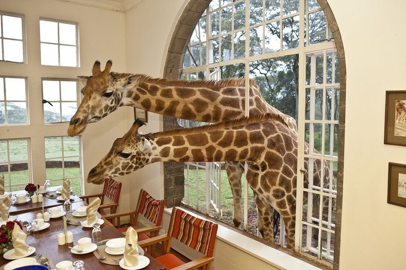 giraffe-manor-3