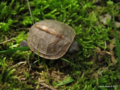baby box turtle top view