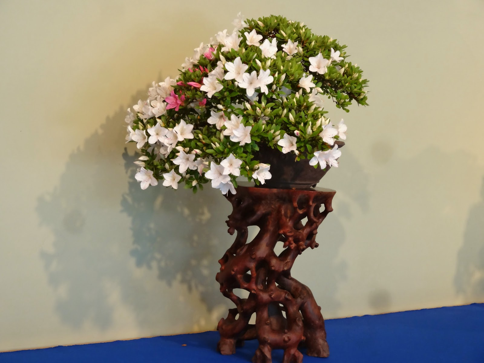 Love Joy And Peas Azaleas Of Old Japan Satsuki Bonsai Exhibit