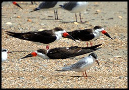 01a2- Nature - Black Skimmers