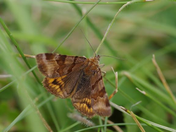 Noctuidae : Catocalinae : Euclidia glyphica (LINNAEUS, 1758). Les Hautes-Lisières (Rouvres, 28), 24 août 2012. Photo : J.-M. Gayman