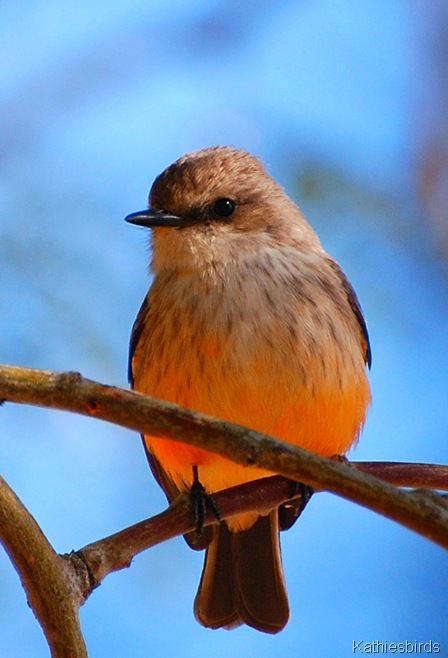9. vermilion flycatcher female-kab