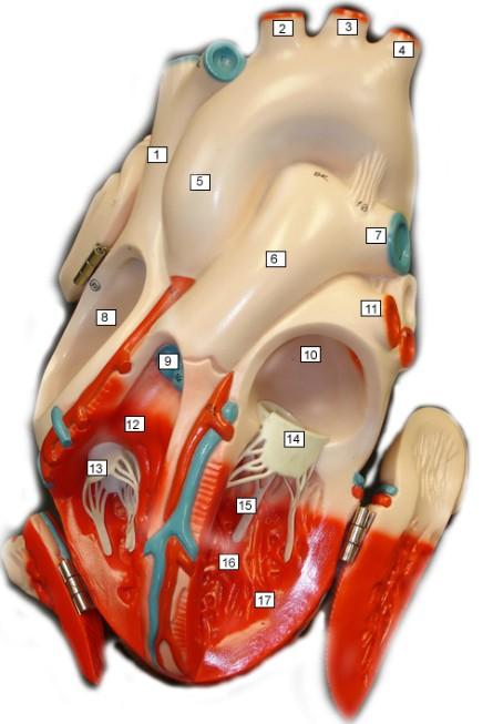 heart_model_04.jpg