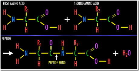 Peptide bond formation in Protiens