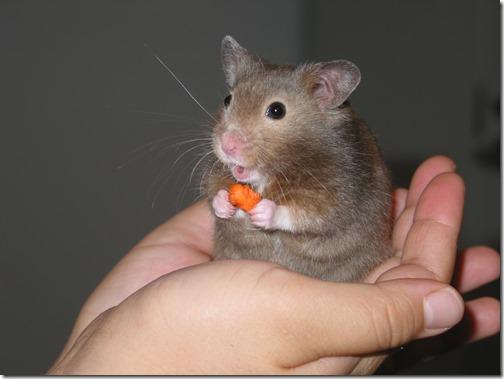 hamster grande imagen (5)