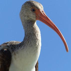 Thinking... by Francesco Altamura - Animals Birds ( bird, nature, florida, sea, animal,  )