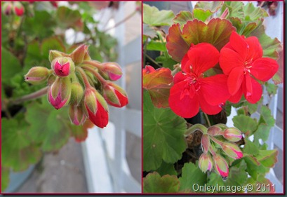 geraniums blooming