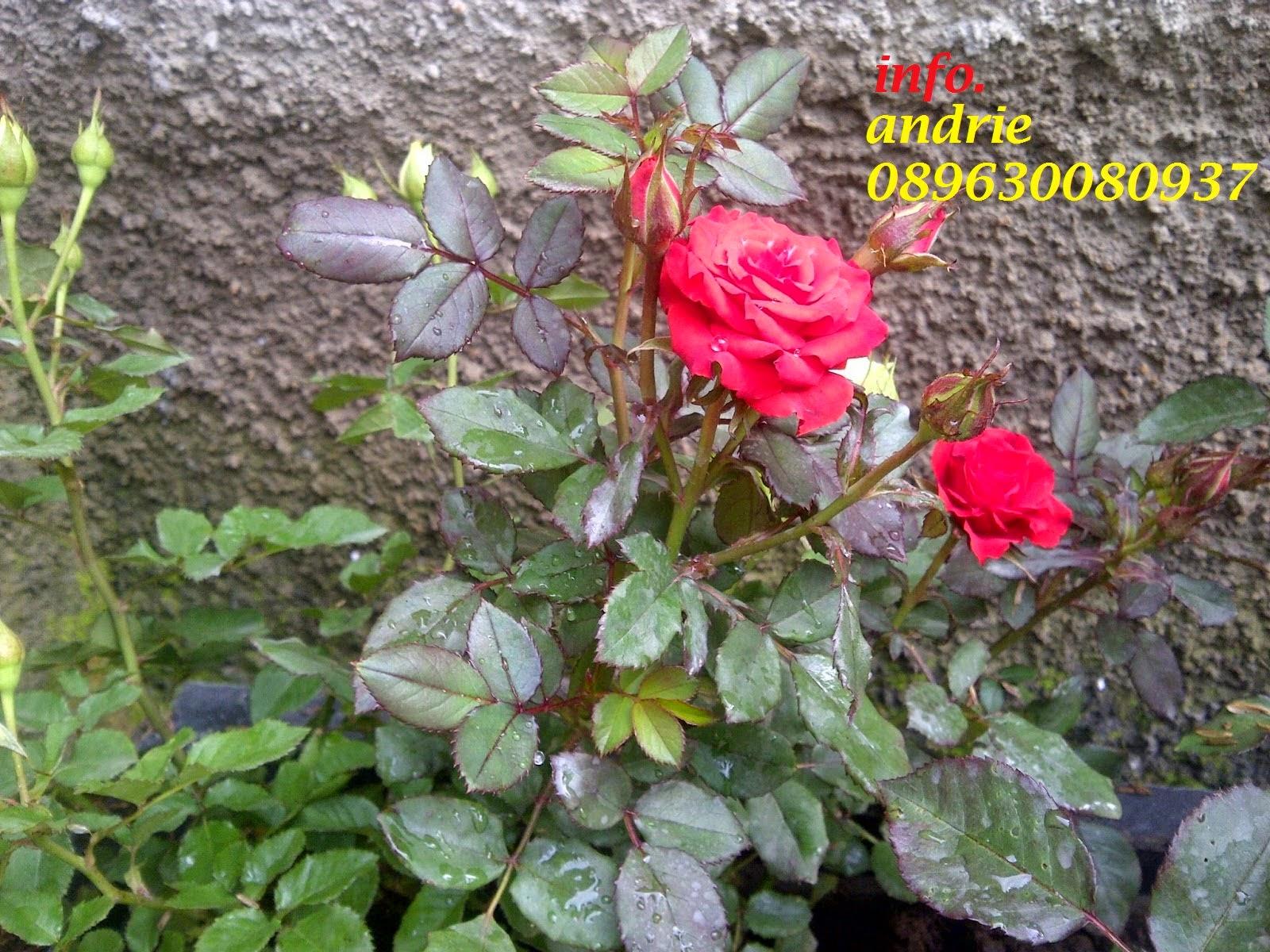 Gambar Tanaman Bunga Mawar Merah Informasi Seputar Tanaman Hias