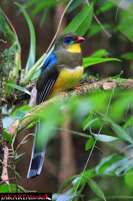 Burung-burung cantik pulau jawa