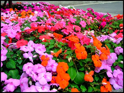 impatiens-walleriana3