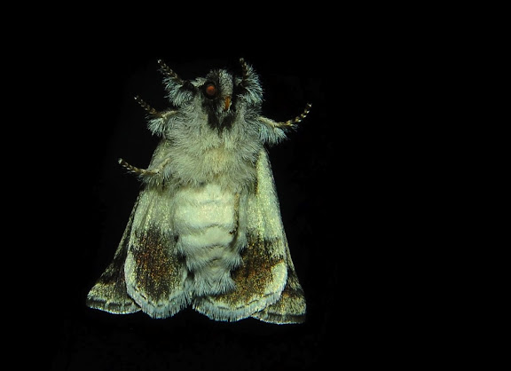 Anthelidae : Munychryiinae : Munychryia senicula WALKER, 1865 (verso). Umina Beach (NSW, Australie), 3 novembre 2011. Photo : Barbara Kedzierski
