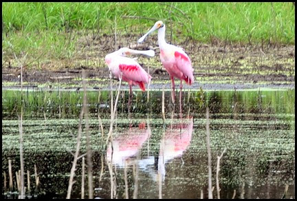 02e - Nature and Canopy Walk - We found the Spoonbills
