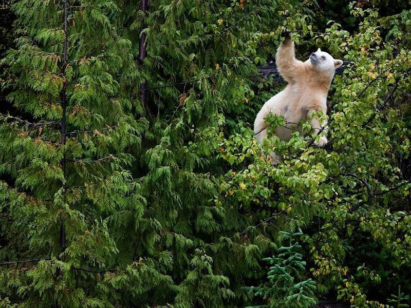 kermode-bear-tree_37821_990x742.jpg