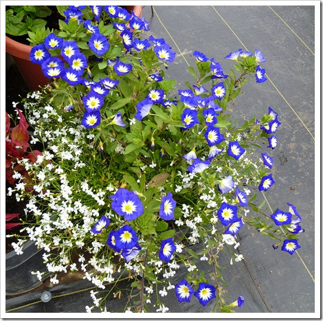 Convolvulus-tricolor-Royal-Ensign