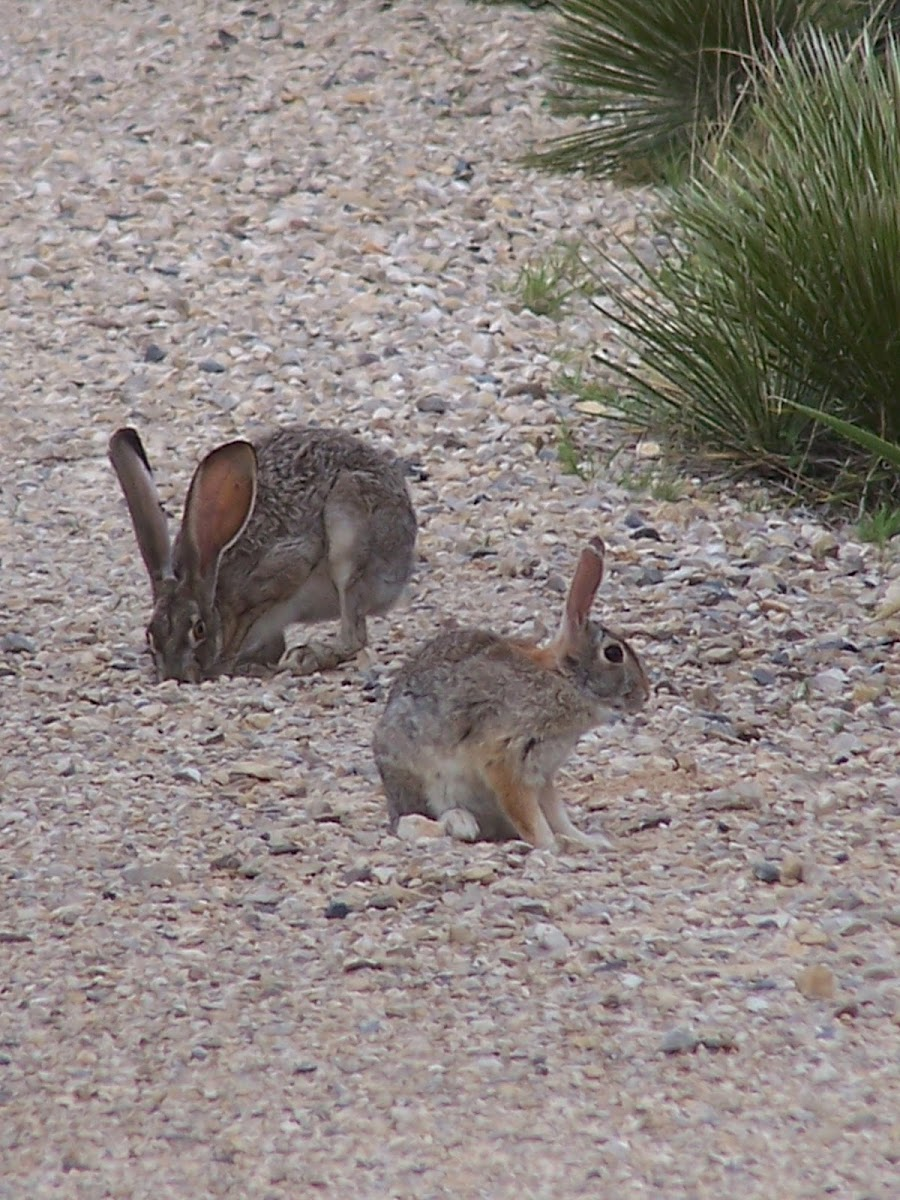 Black-tailed Jackrabbit & Desert Cottontail