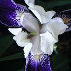 Purple Iris (Purple Flag)
