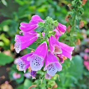 Bells by Dawnadine Yazzie-Harvey - Flowers Flower Gardens ( life, nature, purple, color, beauty, flower )