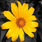 Japanese sunflower