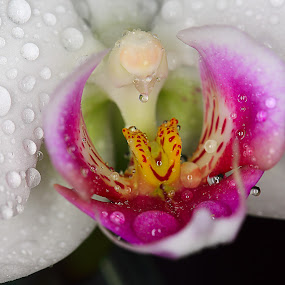 Orchid by Charles KAVYS - Flowers Single Flower ( water, orchid, drops, white, lila, flower,  )