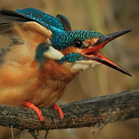 The King & his Scream by Prasanna Bhat - Animals Birds (  )