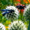 Blue Mud Dauber Wasp