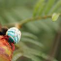 Eurybrachyid Planthopper
